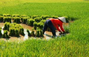 EU Vietnam FTA: rice carve-outs and 'double transformation' rule of origin in sight