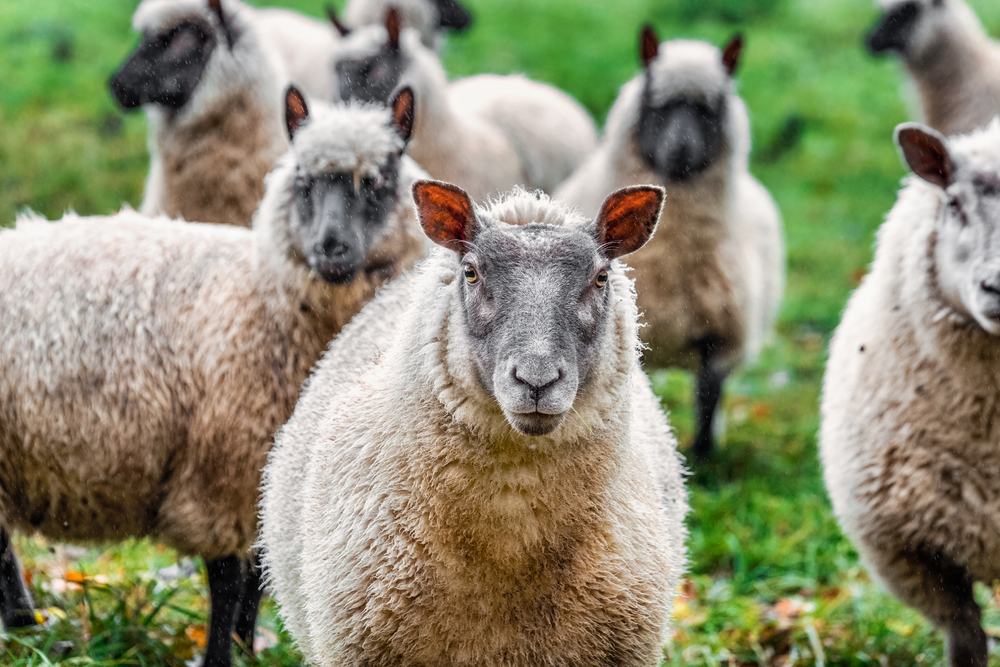 Wolf in sheep's clothing: Britain wakes up to Brexit farming conundrum