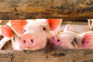 WTO set to determine Russian compliance with pork ruling
