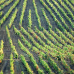 Rows of vines in a vineyard
