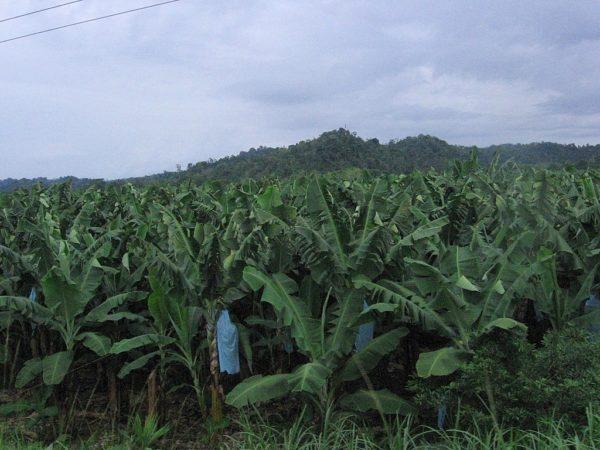 Banana Plantations © Gilbert Corrales Villalobos