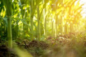 EU reintroduces maize tariffs, spares soya as low prices trigger automatic adjustments